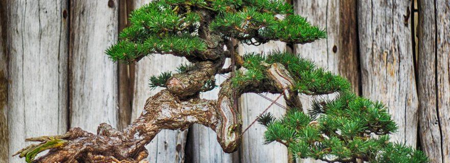 עץ בונסאי
