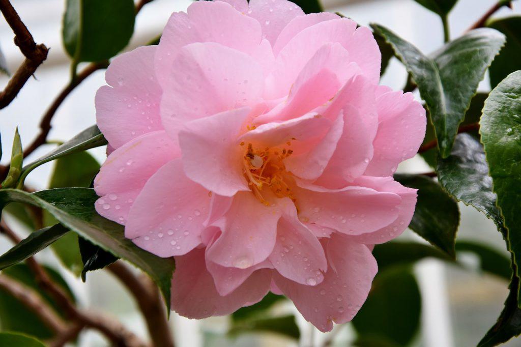 פרחי ורדים