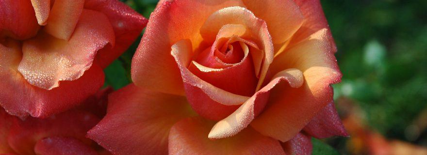 טיפוח ורדים בגינה