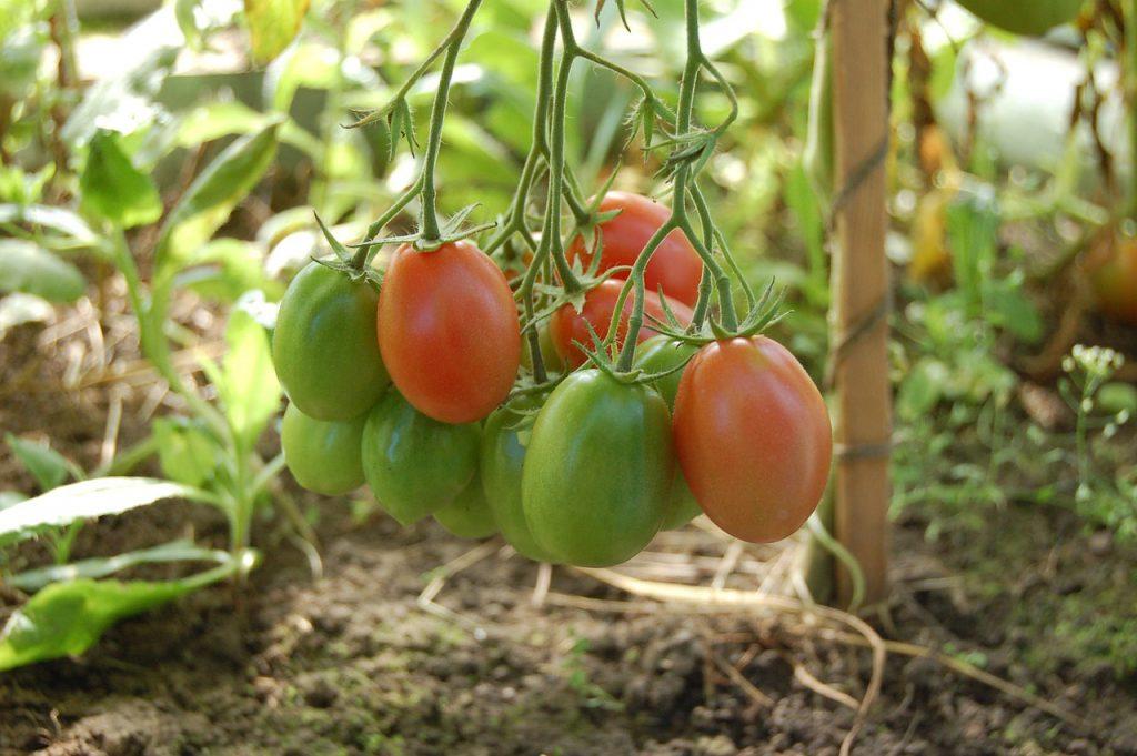 עגבניות חממה
