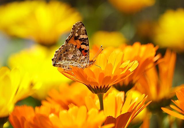 פרפר על פרח קלנדולה