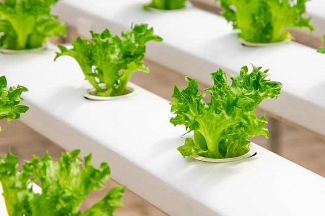 גידול הידרופוני של צמחי מאכל אורגניים