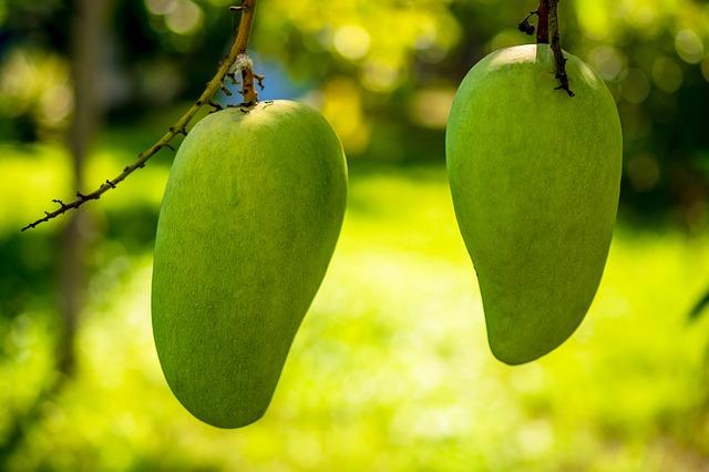 זוג פירות מנגו על העץ