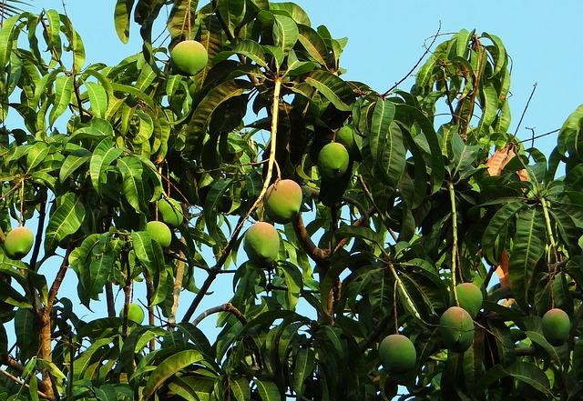עץ מנגו עשיר בפירות