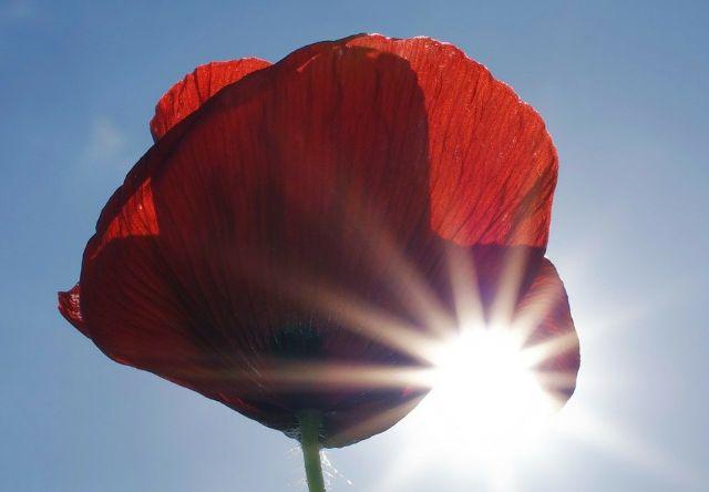 פרח הפרג תחת שמש ישירה