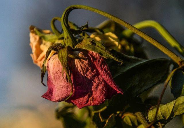 ורד נבול