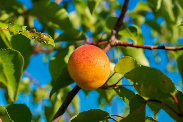 פרי משמש על העץ