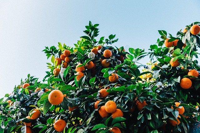 עץ תפוז שופע בפירות