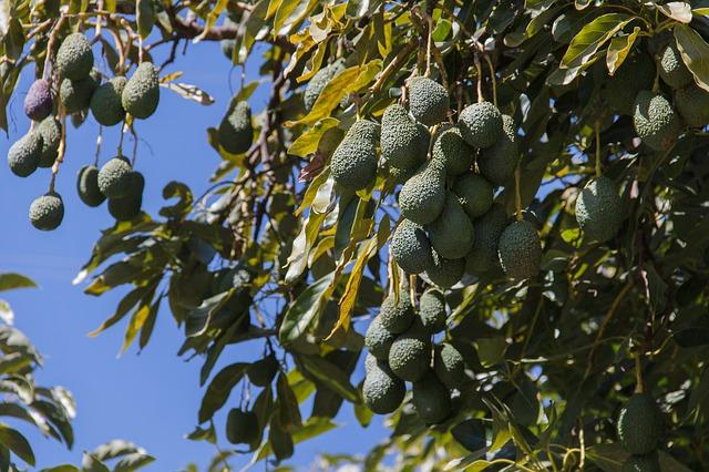 עץ אבוקדו עמוס בפירות
